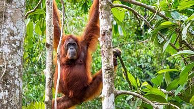 Zwischen Himmel und Erde - der Orang-Utan - Foto: rmnunes / iStock