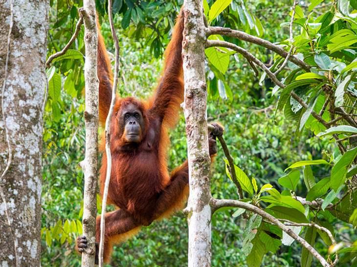Zwischen Himmel und Erde - der Orang-Utan