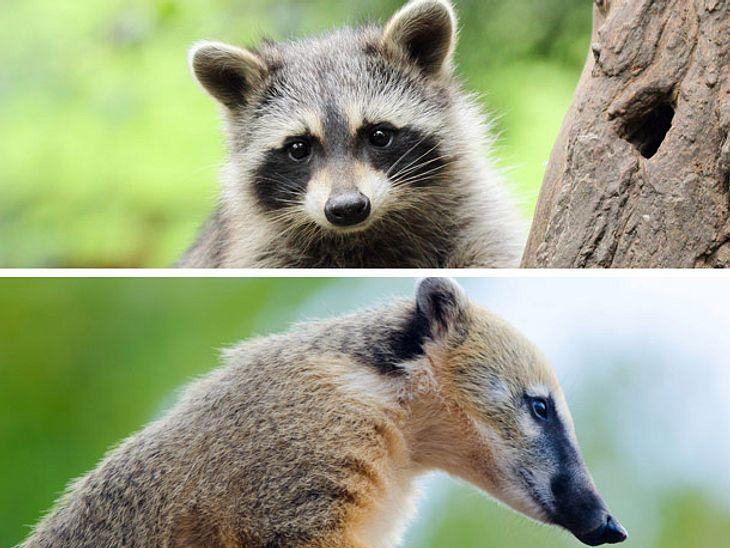 Beliebte Tierarten wie Waschbären und Nasenbären müssen laut einer neuen EU-Richtlinie nicht nur aus der Wildnis, sondern auch aus Zoos verschwinden.