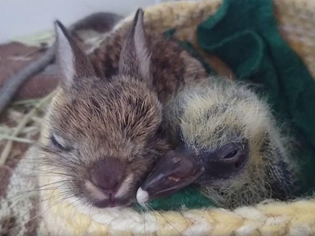 Tierpfleger der Kildare Animal Foundation Wildlife Unit kümmern sich um ein Hasenbaby und ein Taubenküken, die keine Eltern mehr haben.
