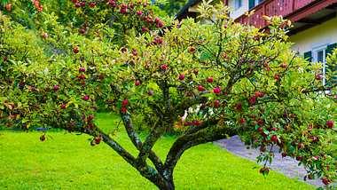 Apfelbaum im Garten.  - Foto: olaser / iStock