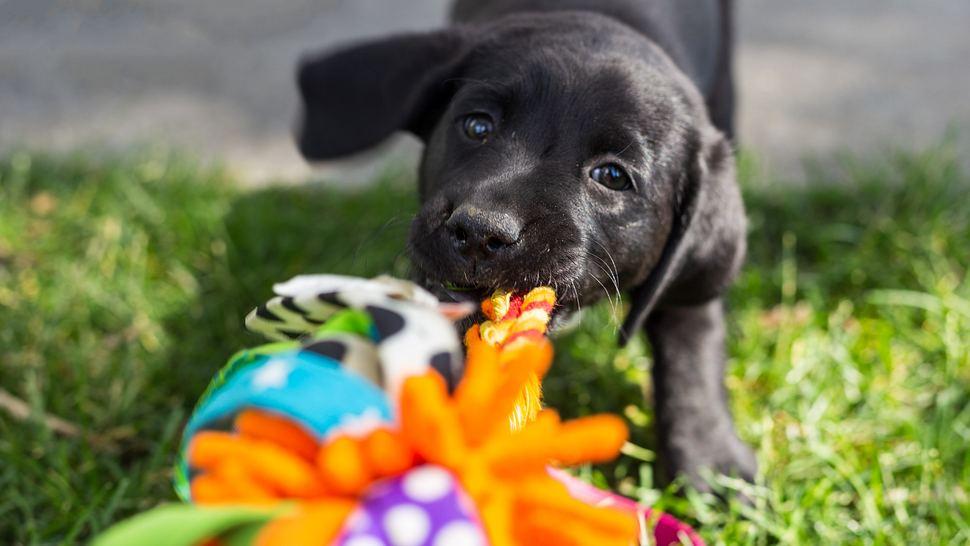 Hund spielt mit interaktivem Hundespielzeug - Foto: iStock/josephgruber