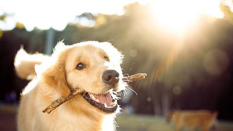 Hund mit Stock im Maul - Foto: iStock/Capuski