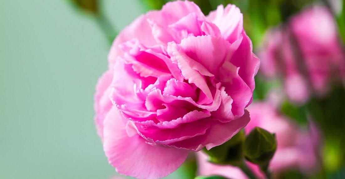 Die Geburtsblume für Januar ist Nelke