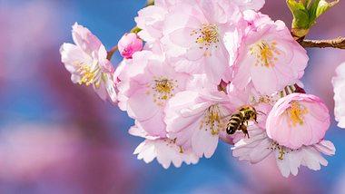 Die richtige Haltung & Pflege für Japanische Zierkirschen. - Foto: manfredxy/ iStock