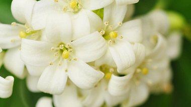 Jasmin pflanzen und pflegen - Foto: dtimiraos / iStock