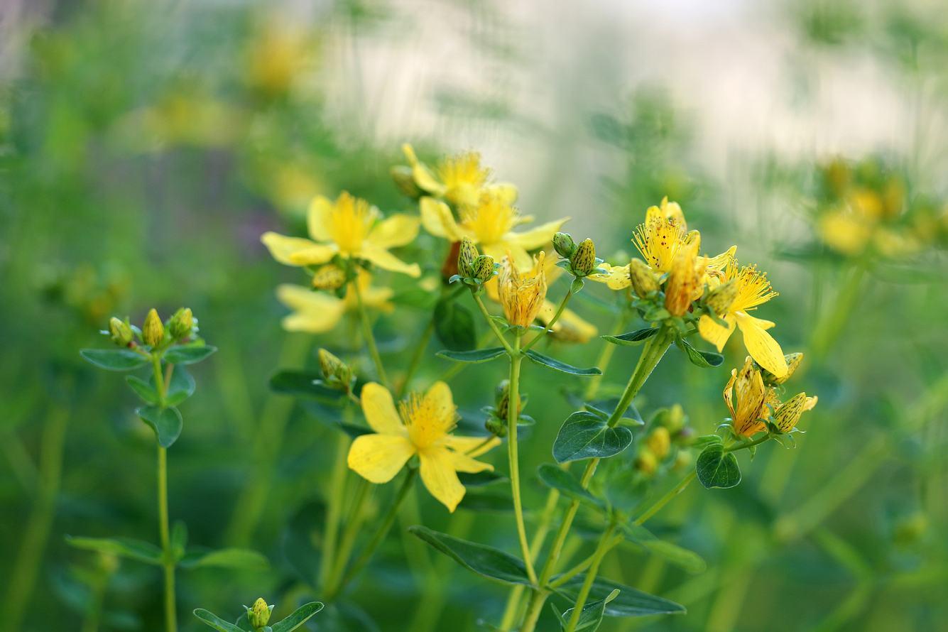 Johanniskraut hilft als natürliches Heilmittel.