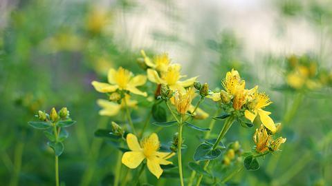 Johanniskraut hilft als natürliches Heilmittel.  - Foto: Eileen Kumpf / iStock