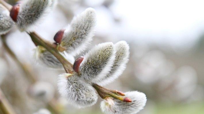 Kätzchenweide pflanzen, pflegen und richtig schneiden