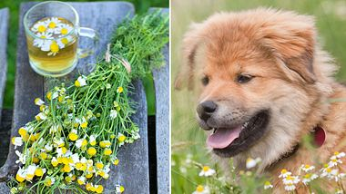 Kamillentee für Hunde: So setzen Sie ihn richtig ein