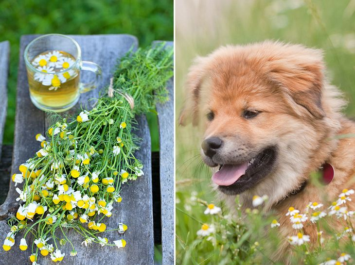Kamillentee für Hunde