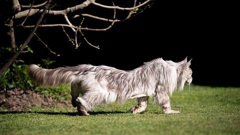 Eine Katze läuft im Garten. - Foto: iStock / Nils Jacobi