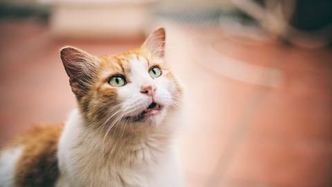 Katze sitzt mit leicht geöffnetem Maul auf einem Fliesenboden. - Foto: peeterv / iStock