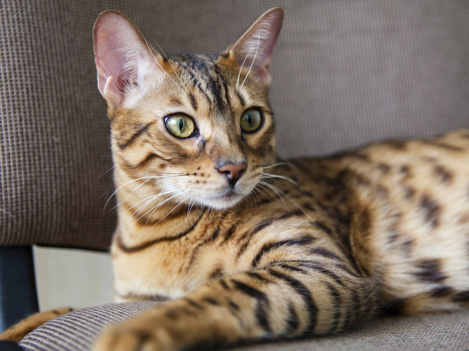 Diese Katzen Sind Fur Allergiker Geeignet Liebenswert Magazin