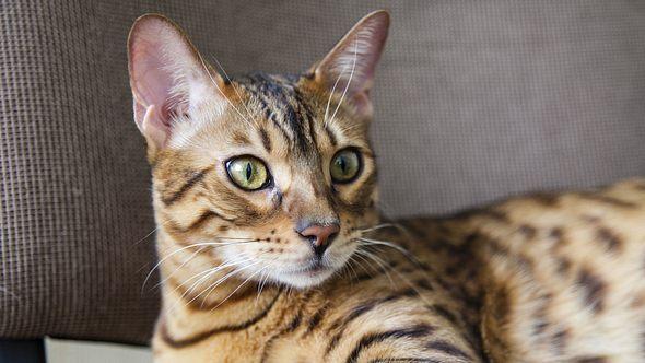 Bengalische Katzen sind für Allergiker verträglich.