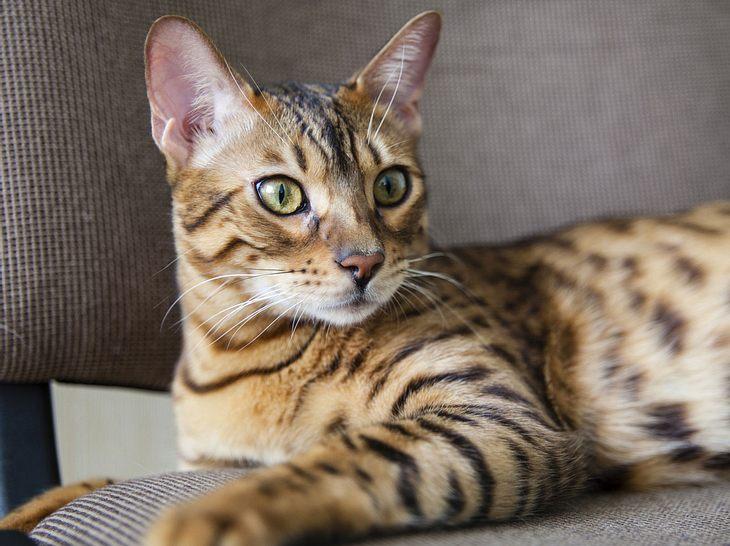 Bengalische Katzen sind für Allergiker verträglicher.