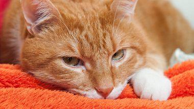Katzenschnupfen erkennen