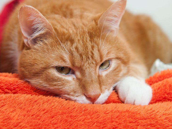 Welche Symptome auf Katzenschnupfen hindeuten können.