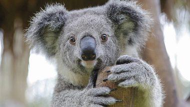 Der Koala ist in großer Not
