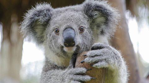 Koalas gelten laut der der Australian Koala Foundation als praktisch ausgestorben. - Foto: plavevski  iStock