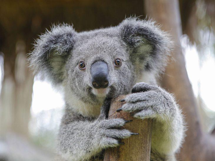 Koalas gelten laut der der Australian Koala Foundation als praktisch ausgestorben.