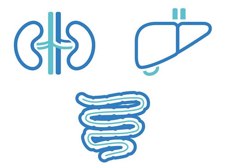 Die Nieren, die Leber und der Darm reinigen den Körper.