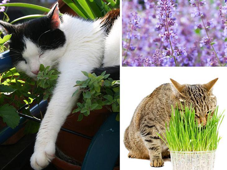 Kräuter für Katzen: So legen Sie den Katzengarten an