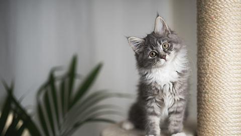 Maine Coon Kätzchen auf Kratzbaum - Foto: iStock/Nils Jacobi