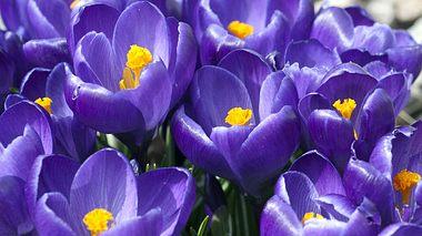 Frühlingsblume Krokus - Foto: emer1940 / iStock
