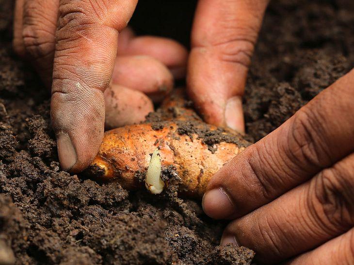 Kurkuma pflanzen leicht gemacht: So geht's!