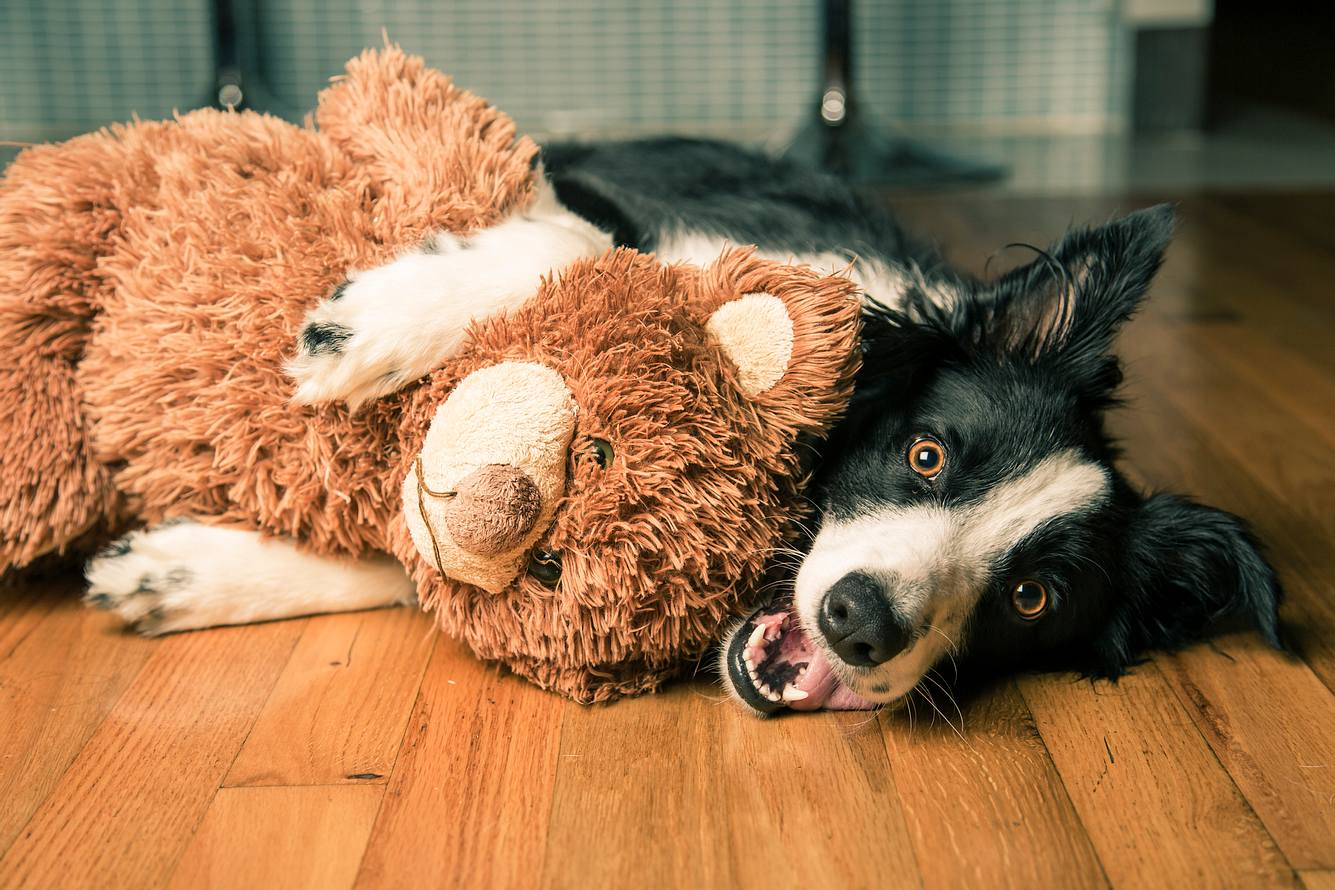 Ein Border Collie mit Kuscheltier für Hunde