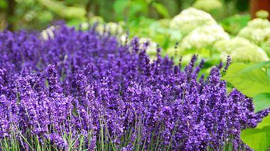Lavendel pflanzen und pflegen