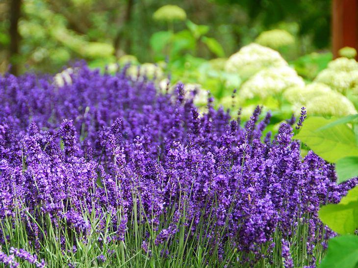 Lavendel bringt die Provence in den heimischen Garten.