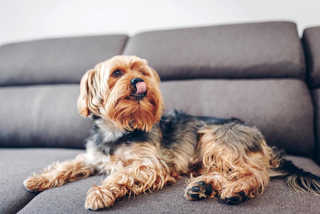 Leckmatte Hund: Hund leckt sich die Schnauze