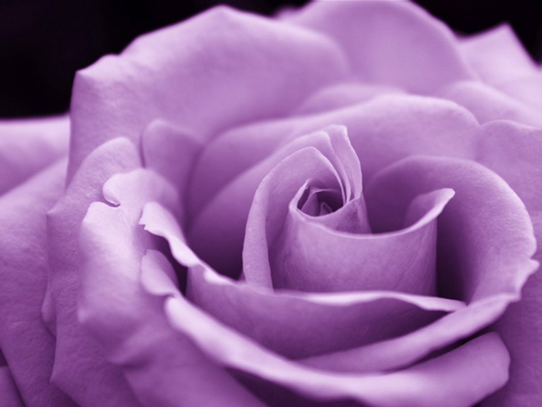 Was bedeuten lilafarbene Rosen?