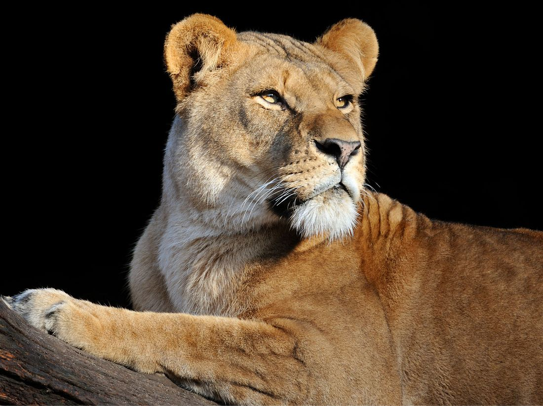Löwin Symbolbild