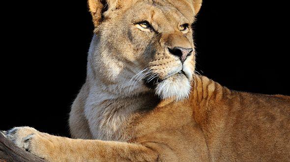 Große Trauer um Löwin Tawanga