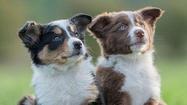 Zwei Hundewelpen schauen in die Ferne. - Foto: FatCamera / iStock