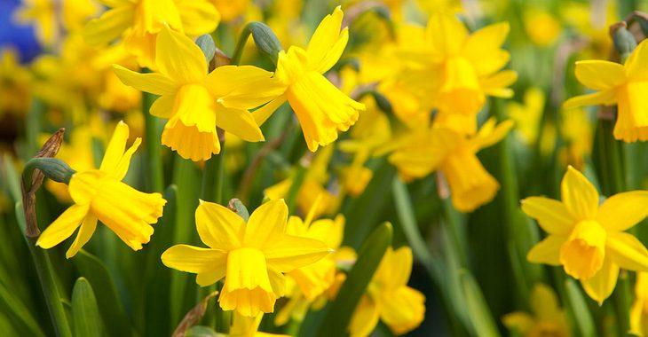 Die Geburtsblume für März sind Osterglocken.