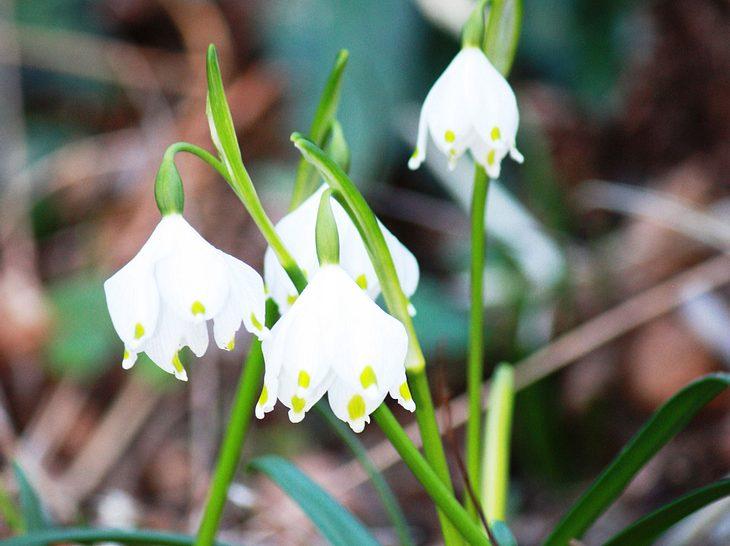 Frühlingsblume Märzenbecher