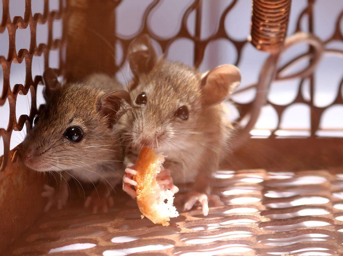 Mäuse fangen ist mit dem richtigen Köder gar nicht so schwer.
