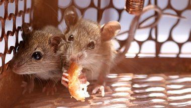 Mäuse fangen - Foto: NeagoneFo / iStock