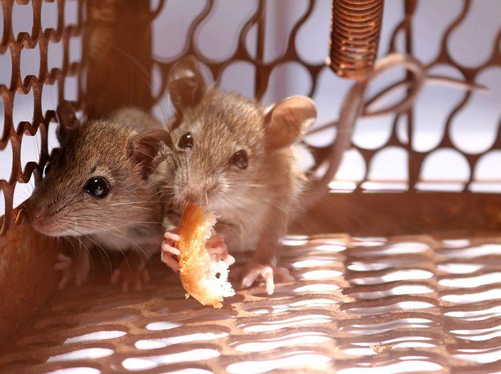 Mäuse fangen