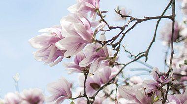 Blühender Magnolienast