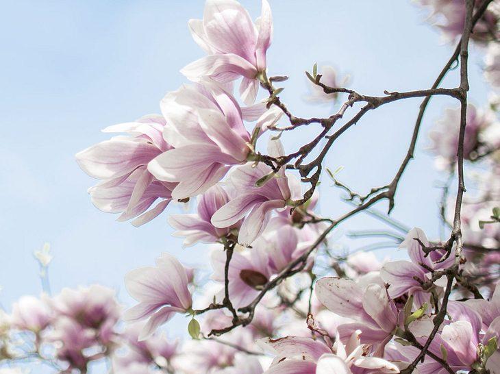 magnolien f r ihren garten so pflanzen und pflegen sie sie richtig. Black Bedroom Furniture Sets. Home Design Ideas