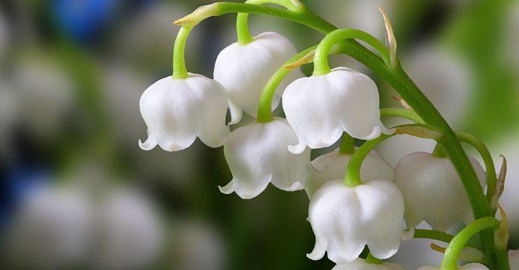 Die Geburtsblume für Mai ist das Maiglöckchen.