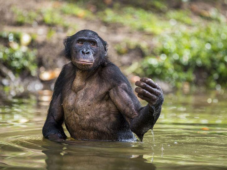 Mann rettet Schimpanse vor dem Ertrinken.