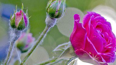 Mehltau an Rosen natürlich bekämpfen und vorbeugen