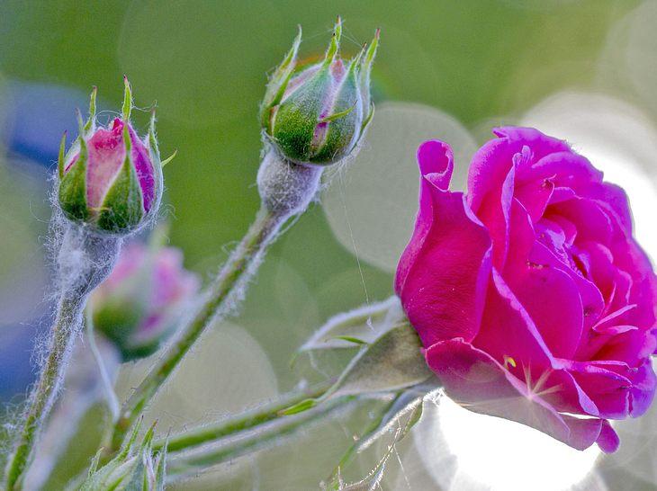 Wie Sie Mehltau an Rosen bekämpfen können, lesen Sie hier.