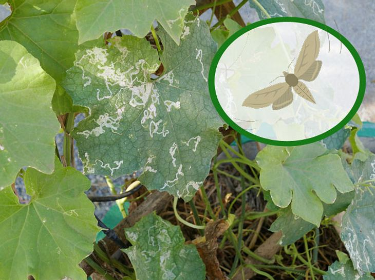 Miniermotte: So schützen Sie Ihre Rosskastanien und Co. vor dem Schädling